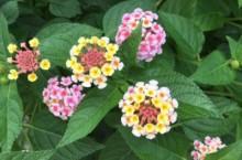 アジサイみたいな小さな花