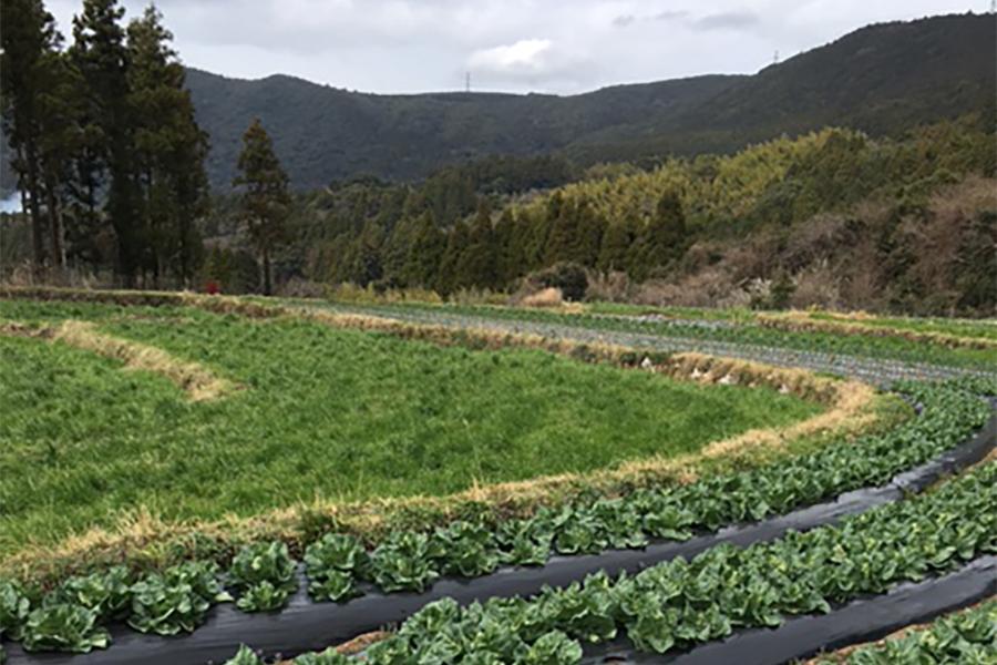 無農薬白菜畑