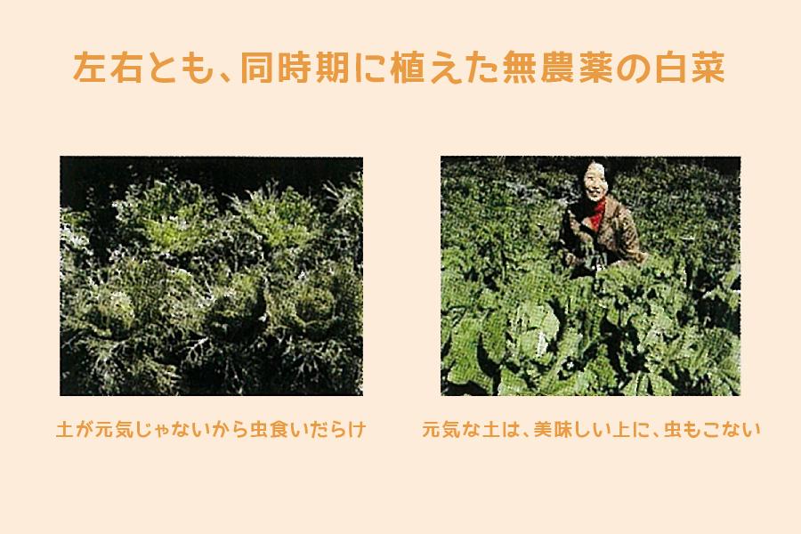 無農薬野菜 白菜