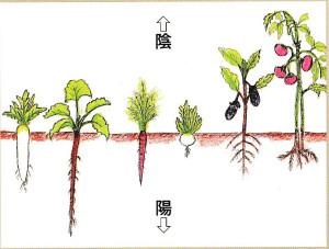 野菜の陰と陽